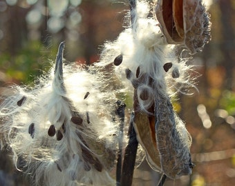 Back-lit Milkweed Pods in Marsh - BLANK 5 X 7 NOTECARD frameable Art Photo with FREE origami crane