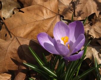 Purple Spring CROCUS in Dried Leaves - PHOTO PRINT 8 1\/2 X 11 frameable ART Enlargement with FREE Origami Crane - SEASONAL Floral