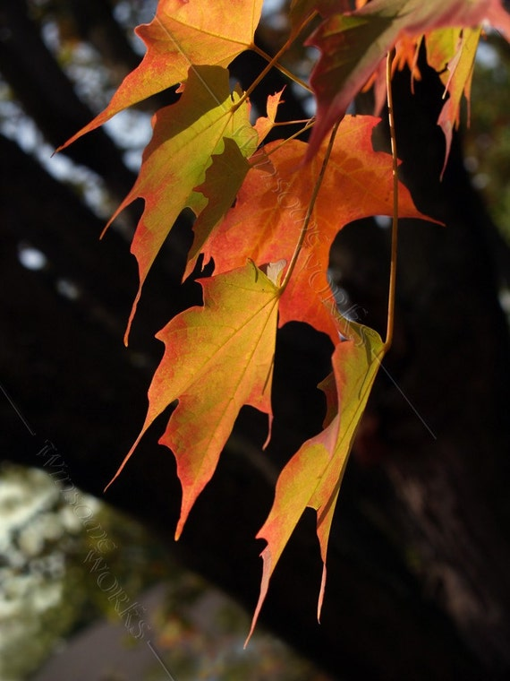 Changing Sugar Maple Leaves and Trunk- BLANK 5 X 7 NOTECARD frameable Art Photo with FREE origami crane