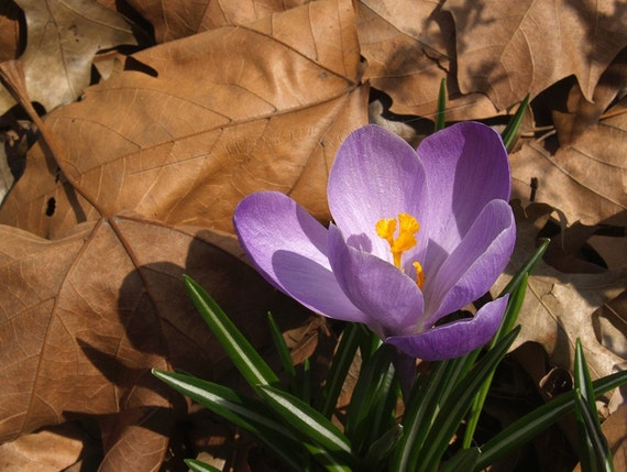 Purple Spring CROCUS in Dried Leaves - PHOTO PRINT 8 1\/2 X 11 frameable ART Enlargement with FREE Origami Crane - SEASONAL Floral