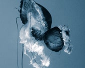 Jellyfish, Silent Dance Underwater Fine Art Photography Blue Elegant Home Office decor by Forgotten Beauty, also black and white