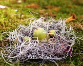 Acorns in a nest of Spanish moss on a mossy forest floor, Autumn Home Decor, Green, brown, grey, Fairy Woodland Fantasy Vintage style nature