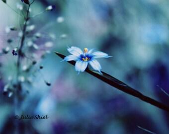 Beauty Within, Fine Art Photography, Blue, Purple, Yellow, Blue-eyed grass, Iris, Soft Macro Nature Home Office Decor