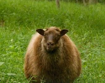 Brown Icelandic Wool Roving, 3 oz.