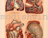 Antique 1914 medical ephemera Human Internal Organs / lungs, heart, liver, stomach / wall decor