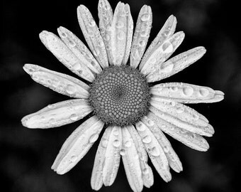 Rainsplashed Daisy -- Square Black and White Photograph