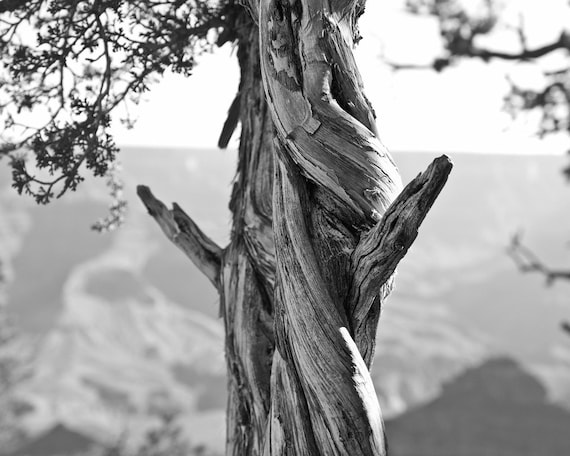 Twisted Tree Near the Grand Canyon -- Black and White Photograph