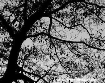 Tree photography. Blue Ridge Parkway. Black and White tree branches photo striking abstract Nature wall art.  8x10 Matted to 11x14  In Stock
