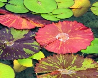 Abstract Nature Photography. Lily pads photos. Zen Wall Art Home Decor. Green Red Purple Decor. Colorful Nature wall art 5x7, 8x10, Matted