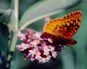 Panoramic Print - Butterfly on a Flower Panoramic