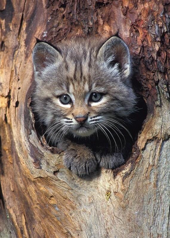 Bobcat Kitten - 5x7 Original Fine Art Photograph