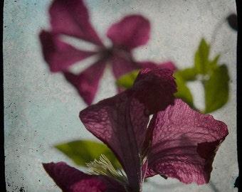 Blue Purple Flower Photograph--Translucent Petals Clematis--TTV Fine Art