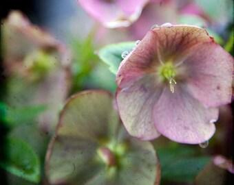 Pink Green Floral Photograph--Dew Drops--Fine Art