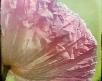 Pink Green Flower Photograph--Pink Poppy--Fine Art