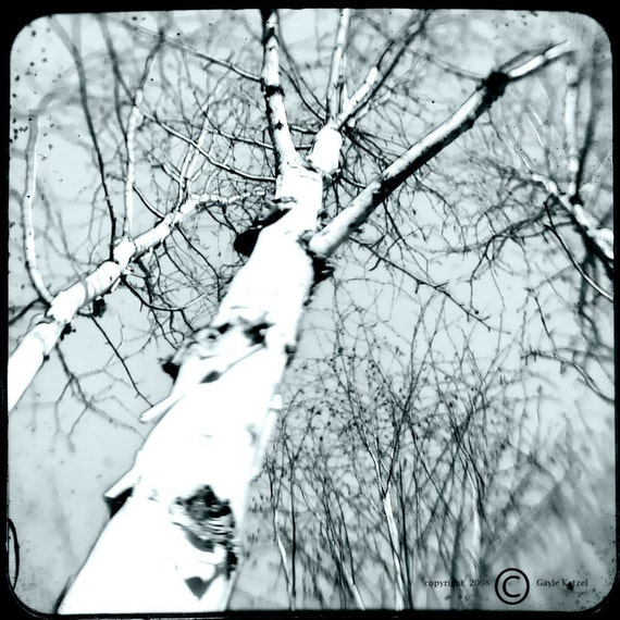 Cyan Tree Photograph--Birch Trees Cyan--TTV 5x5 Fine Art