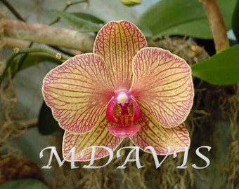 Orchid Flower Photo Image