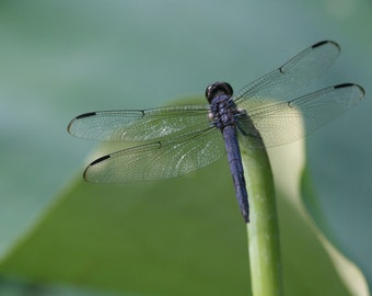 8x10 photograph - dragonfly on green