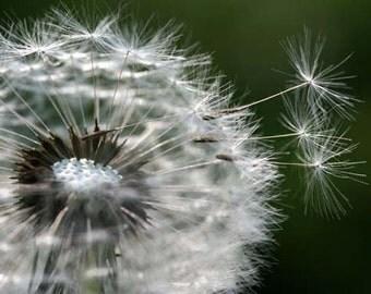 8 x 10 photograph - Dandelion