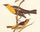 Vintage Audubon BLACKBIRD ORIOLE Bird Print Illustration