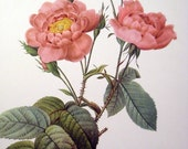 Vintage Redoute Pink Roses Print - Rosa Centifolia Anemonoides - French Flowers