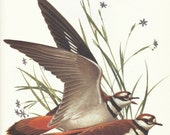 Vintage Bird Print - Killdeer - Menaboni Book Plate
