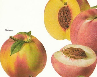 Set of 2 Vintage Fruit Prints Peaches Plums 1960s Illustrated Color Plates Book Pages