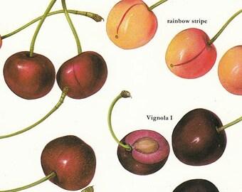 Set of 2 Vintage Cherries Fruit Color Illustrated Prints 1970s Book Pages Plates Lot