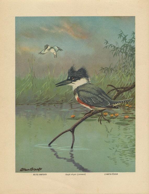 Vintage Bird Print - Belted Kingfisher - Allan Brooks Lithograph