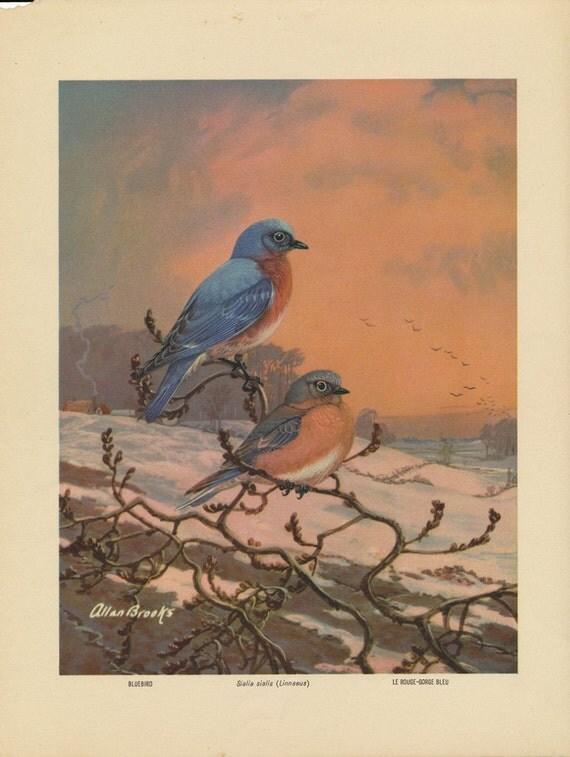 Vintage Bird Print - Bluebird - Allan Brooks Lithograph