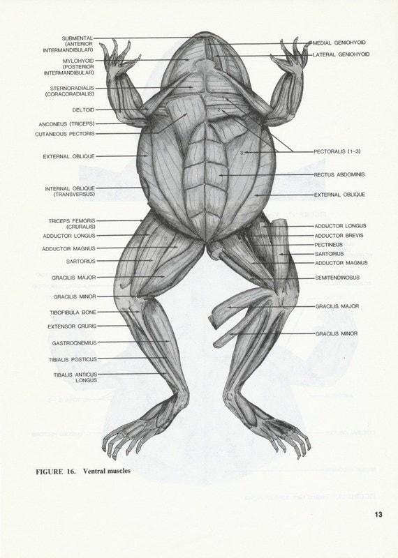lot of 7 vintage frog animal anatomy illustrated book pages. Black Bedroom Furniture Sets. Home Design Ideas