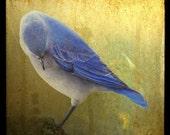 Bashful Bluebird, 5x5 Fine Art Photographic Print