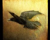 Raven Flight 3, 5x5 Fine Art Photographic Print