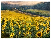 Sunflowers No. 2, Original, Signed, Fine Art Photograph matted to 11x14