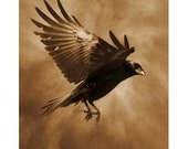 Raven Flight 1, Original, Signed, Fine Art Photograph matted to 20x24 (special price)