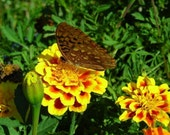 Plant a Bee Garden - Special Collection - Organic Marigold Cosmos Purple Wildflower and Sunflowers