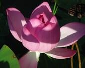 Organic Lotus Plant Seed - Grow a Lotus Flower