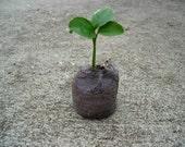 Grow an Indoor Citrus Tree Kit - mini LEMON tree seeds