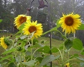 Easy to Grow Organic Sunflower Seeds