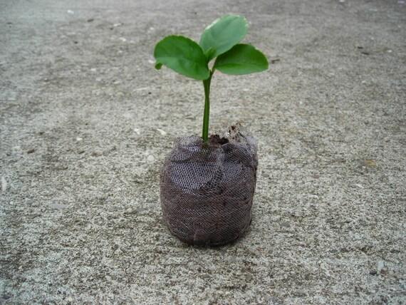grow an indoor citrus tree kit mini lemon tree seeds. Black Bedroom Furniture Sets. Home Design Ideas