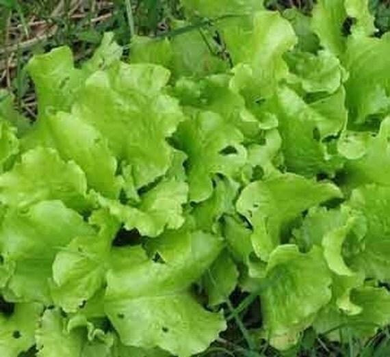 Heirloom Seeds Black Simpson Lettuce - Grow a Salad Garden