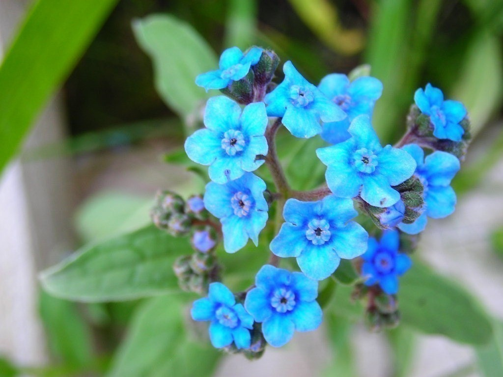 organic blue forget me not flower seeds plant a blue garden. Black Bedroom Furniture Sets. Home Design Ideas