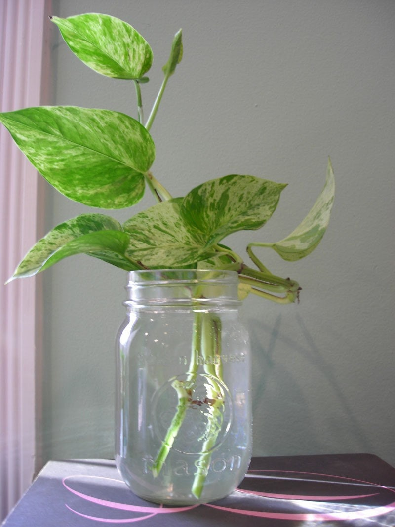Image result for rooting pothos