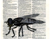 FLY....  print of an original pencil and pen ANATOMICAL ILLUSTRATION ON AN OLD DICTIONARY PAGE