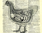 CHICKEN...  print of an original pencil and pen ANATOMICAL ILLUSTRATION ON AN OLD DICTIONARY PAGE
