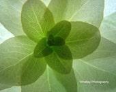 Soft green flower photo, green flower photo, green wall art, green decor, flower closeup, floral decor, flower art, flower photo, green art