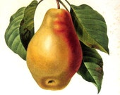 Fruit Print - Pear - Redoute1979 Vintage Fruits Book Plate p290