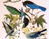 Large 2 Sided 1981 Vintage Audubon Bird Book Plate Fish Crow, Scrub Jay, Stellar's Jay, Yellow Billed Magpie, Nutcracker