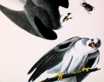 1978 Vintage Audubon Bird Print Black Shouldered Hawk