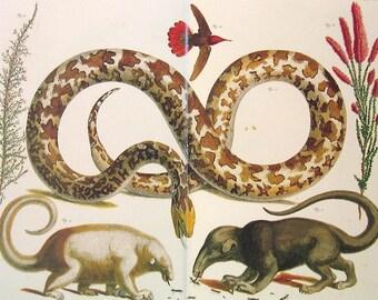 Python, Anteater, Hummingbird, Heath -  Albertus Seba Book Plate - 17 x 13