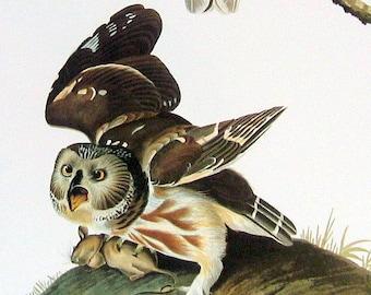 Little Owl Large 1981 Vintage Audubon Book Plate Print f243